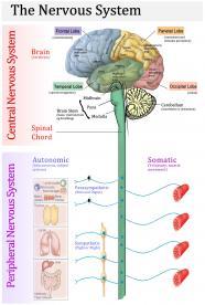 Το Νευρικό Σύστημα