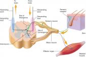 reflex afferent efferent fibers